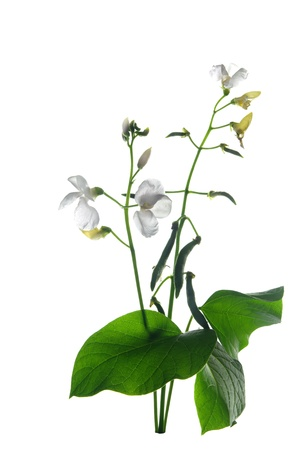 bean with flower and leaf on white background photo