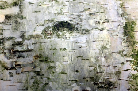 birch bark background with green moss Stock Photo - 15220703