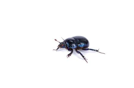 blue beetle on white background photo