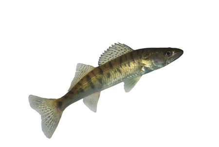 long zander on white background photo