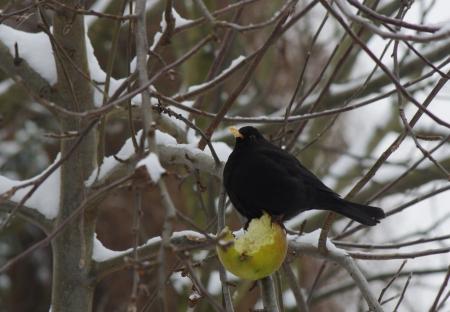 blackbird with apple in winter scenery photo