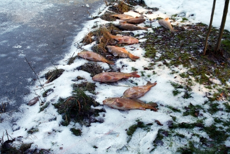 dead carps on snow photo