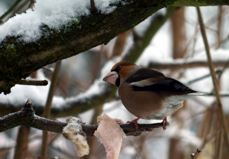 Hawfinch  on a branch  in winter scenery photo