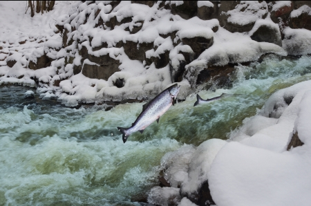 salmo trutta: jumping out from water salmon  on waterfall background