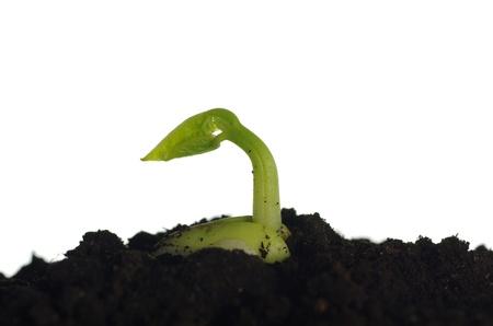 germinating bean on white background photo