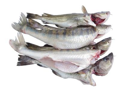 burbot: lota pescado y lijadora sobre un fondo blanco