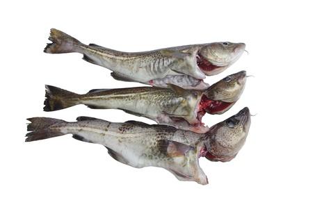 lota: dos bacalaos sobre un fondo blanco