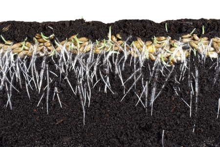 germinating cereal from long roots photo