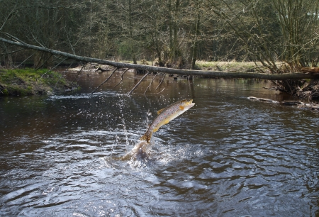salmo: jumping out from water salmon  on river background