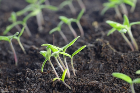 young of the tomatoes seedling in fertile the groundfresh Banque d'images