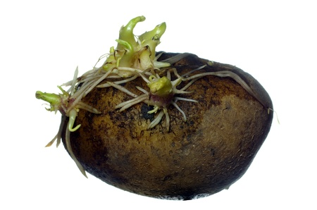 germinating: germinating potato with roots on white background Stock Photo
