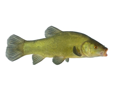 tinca tinca: flowing tench on white background Stock Photo