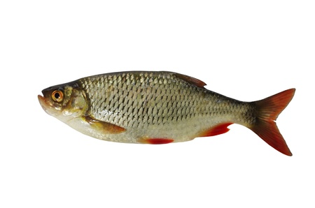 rudd fish on white background photo