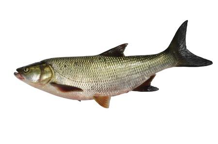 predatory: asp predatory freshwater fish on white background