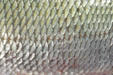 background fish skin with scales photo