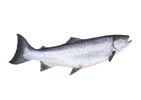 big salmon on white background