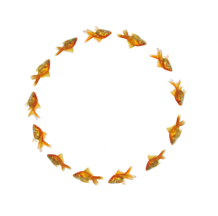 gold fishes swimming in circle  photo