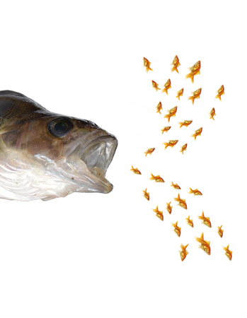predatory fish and shoal gold fishes photo