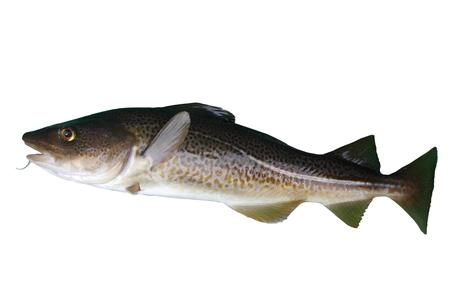 burbot: gran bacalao pescado en un blanco