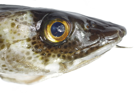 lota: gran bacalao pescado en un blanco