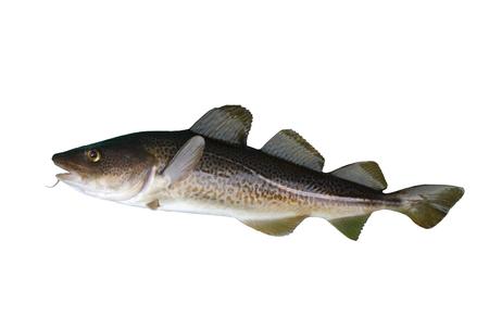 lota: bacalao grandes sobre un fondo blanco