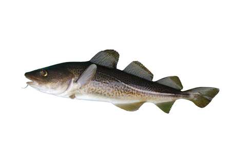 cod grande pesce su uno sfondo bianco Archivio Fotografico
