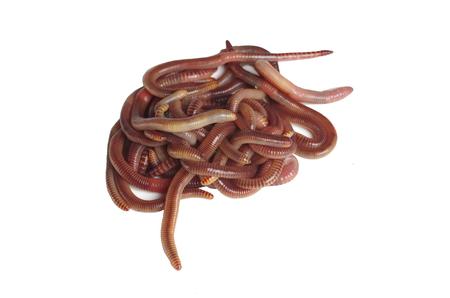 earthworms: lombrices manojo en el fondo blanco