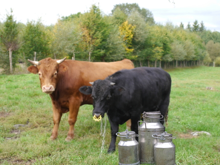 they three metal cans on milk on cow backgrpund photo
