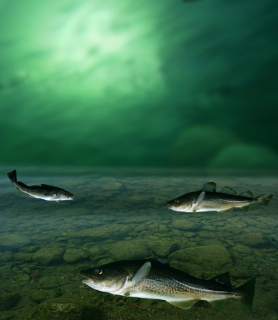 burbot: gran bacalao y baj�o bajo el agua