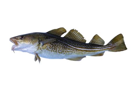 burbot: bacalao grandes sobre un fondo blanco