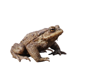 bufo bufo: sitting brown toad on white