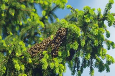 bee swarm: bee swarm  on tree Stock Photo