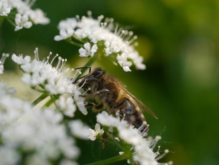 ambrosia: macro bee on white flower