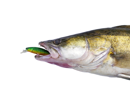 chasing tail: big zander  with artificial bait in muzzle Stock Photo