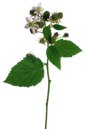 bramble: blackberry flower and leaf on white background