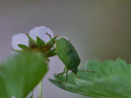 green shield bug ( palomena prasina ) insect on leaf photo