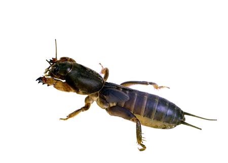 saboteur: gryllotalpa mole cricket isolated on a white background
