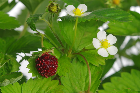 greenness: red and unripe wild strawberry with flowers