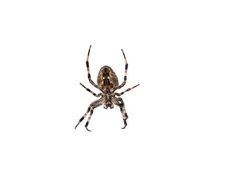 arachnidae: big cross spider on white background