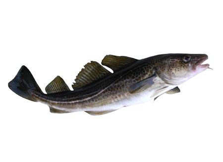 lota: gran bacalao pescado en un fondo blanco Foto de archivo