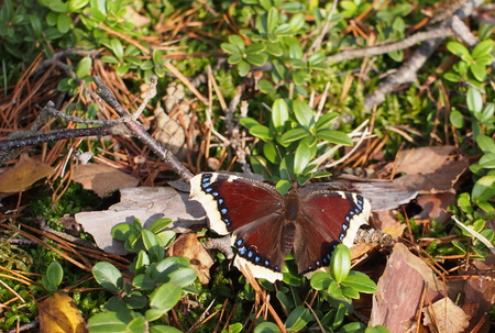 nymphalis: nymphalis antiopa beauty butterfly in nature