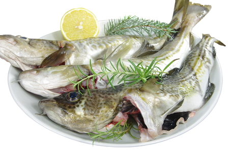 burbot: fresh cod fishes on a white plate
