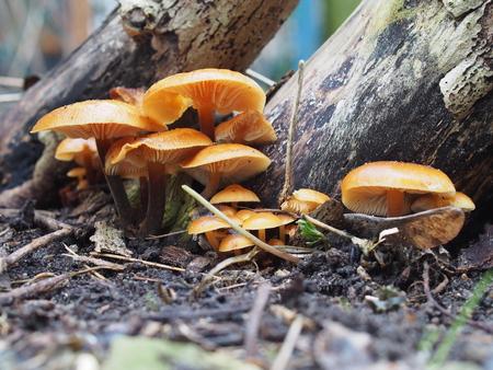 foot fungus: enoki mushroom flammulina velutipes on tree background Stock Photo