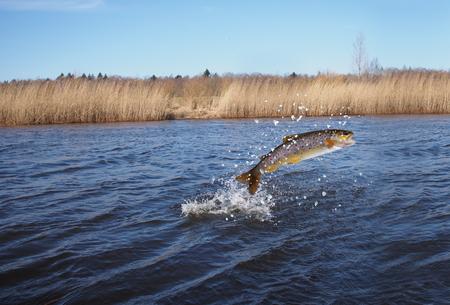 skákat z lososa vody na řece pozadí