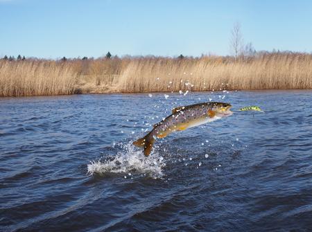 trucha: El saltar de salmones del agua en el fondo del río
