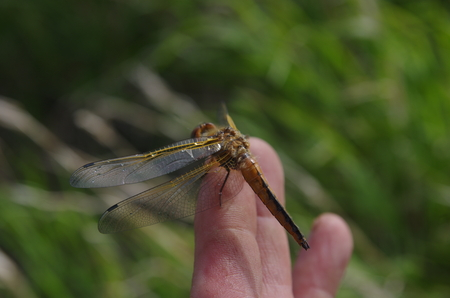 dragon fly: dragon fly on finger on forest background Stock Photo