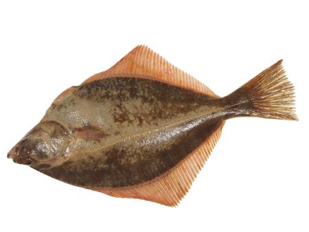 plaice: big fish flounder on white background