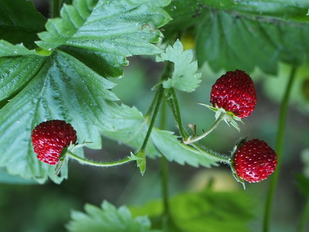 wild strawberry with red fruit  fragaria vesca Stock Photo