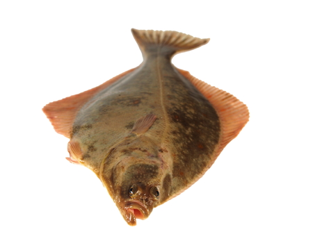 the big fish: big fish flounder on white background