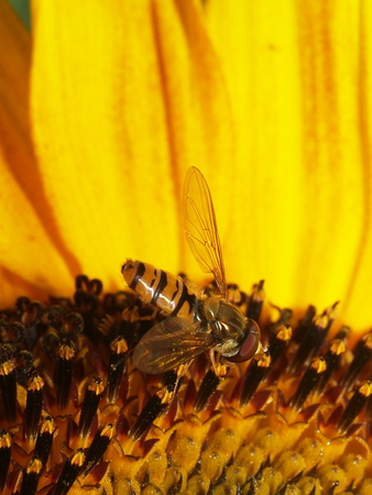diptera: insect diptera halteres on sunflower